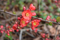 CHAENOMELES superba 'Fascination'