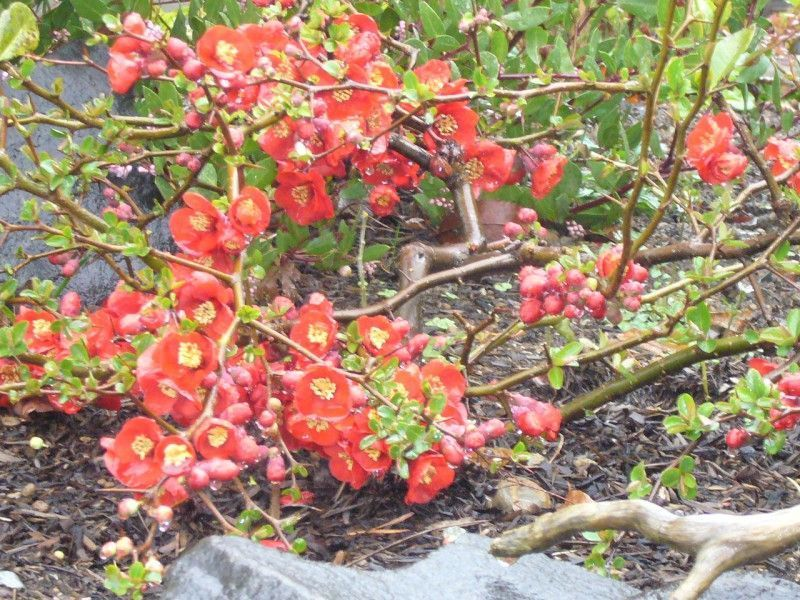 CHAENOMELES superba 'Hollandia'