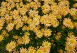 CHRYSANTHEMUM rubellum 'Mary Stoker'