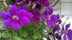 CLEMATITE 'Gipsy Queen'