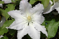 CLEMATITE 'Gladys Picard'
