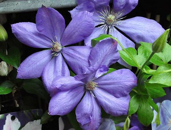 CLEMATITE 'Mrs Cholmondeley'