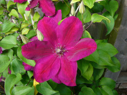 CLEMATITE 'Rouge Cardinal'