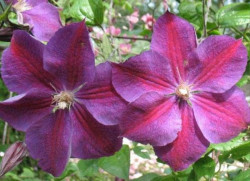 CLEMATITE 'Star Of India'