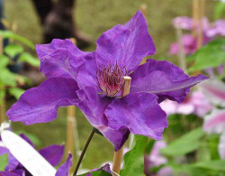 CLEMATITE 'The President'