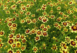 COREOPSIS 'Cosmic Eye'®