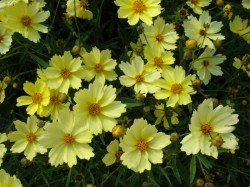 COREOPSIS 'Full Moon'®