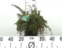 COTONEASTER procubens 'Steib's Finding'
