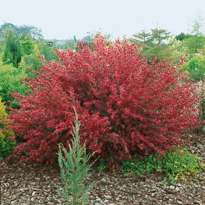 Cytisus Boskoop Ruby Plantes Ext 233 Rieures