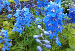 DELPHINIUM x pacific 'Summer Skies'