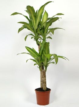 Dracaena fragrans massangeana 2 pieds dragonnnier for Grande plante appartement