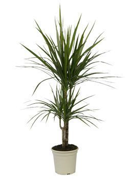 dragonnier de madagascar dracaena marginata. Black Bedroom Furniture Sets. Home Design Ideas
