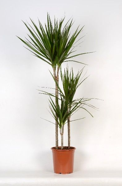 dracaena marginata 3 pieds dragonnier de madagascar plantes int rieures. Black Bedroom Furniture Sets. Home Design Ideas