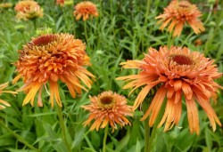 ECHINACEA purpurea 'Colorburst Orange'