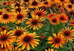 ECHINACEA purpurea 'Flame Thrower'®
