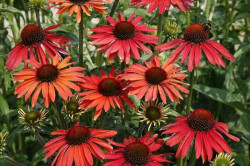 ECHINACEA purpurea 'Hot Summer'®