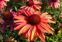 ECHINACEA purpurea 'Orange Passion'®