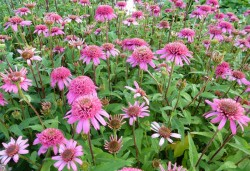 ECHINACEA purpurea 'Pink Double Delight'®