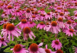 ECHINACEA purpurea 'Red Knee High'®