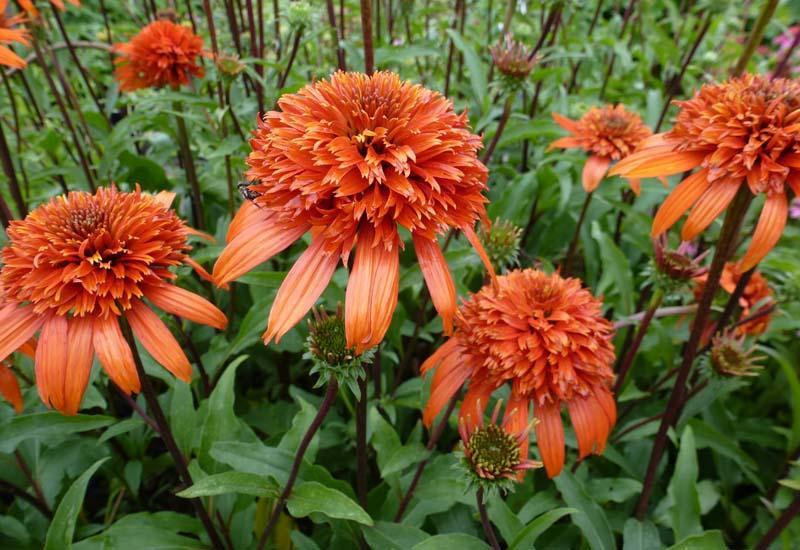 ECHINACEA purpurea 'Secret Lust'®'