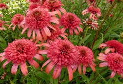 ECHINACEA purpurea 'Secret Passion'®