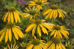 ECHINACEA purpurea 'Summer Breeze'®