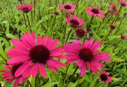 ECHINACEA purpurea 'Summer Cloud'®