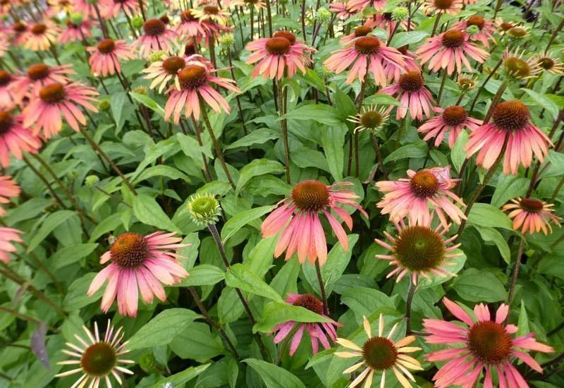 ECHINACEA purpurea 'Summer Cocktail'®