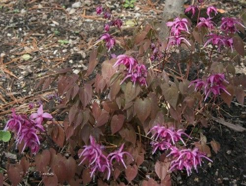 EPIMEDIUM grandiflorum 'Red Beauty'