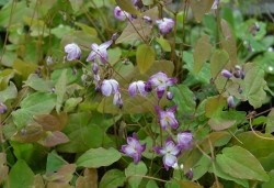EPIMEDIUM youngianum 'Merlin'