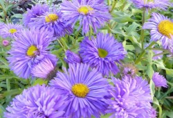 ERIGERON 'Azur Beauty'