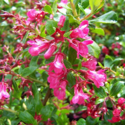 ESCALLONIA 'Donard Radiance'