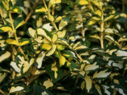 EUONYMUS fortunei 'Blondy'®