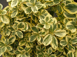 EUONYMUS fortunei 'Canadale Gold'