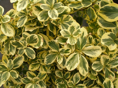 euonymus fortunei 39 canadale gold 39 plantes ext rieures. Black Bedroom Furniture Sets. Home Design Ideas