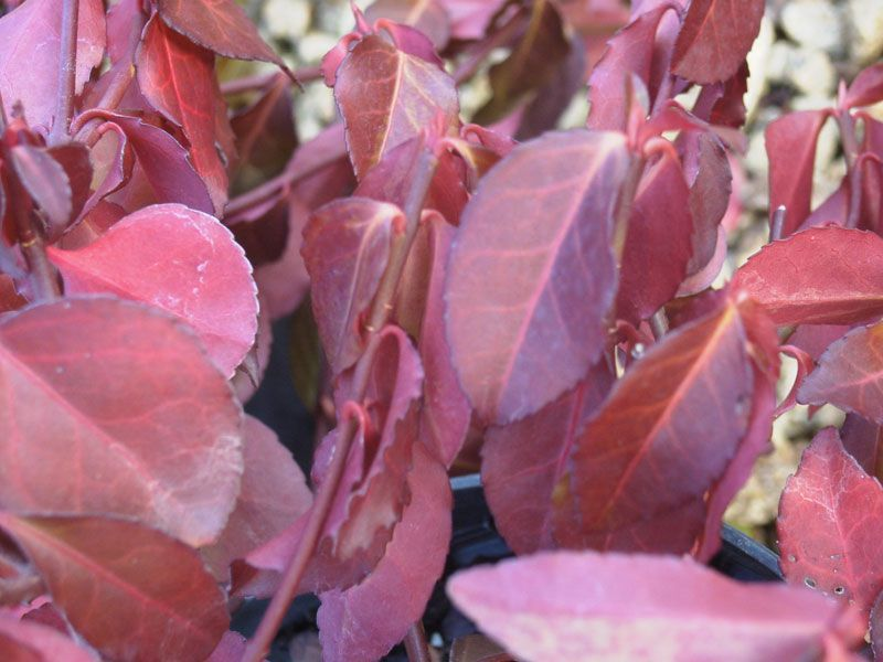 Euonymus fortunei 39 dart 39 s blanket 39 plantes ext rieures for Comarbuste a feuille rouge