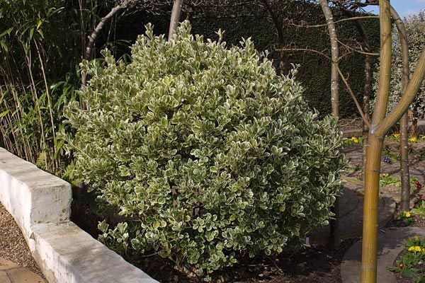 EUONYMUS japonicus 'President Gauthier'