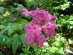 FILIPENDULA purpurea