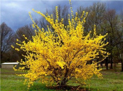 FORSYTHIA intermedia 'Goldrausch'