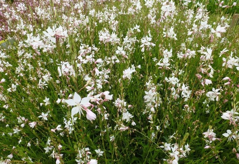 Gaura lindheimeri 39 white dove 39 plantes vivaces for Prix plantes vivaces