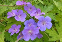 GERANIUM 'Blue Sunrise'®