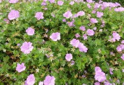 GERANIUM 'Blushing Turtle'