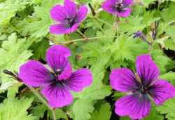 GERANIUM 'Dragon Heart' ®
