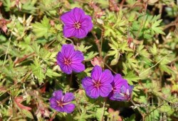 GERANIUM 'Little David'
