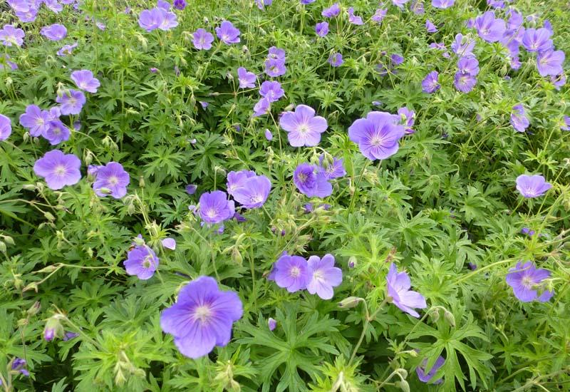 Geranium 39 orion 39 plantes vivaces for Prix plantes vivaces