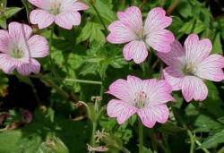 GERANIUM oxonianum 'Hollywood'