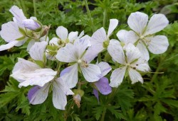 GERANIUM pratense 'Splish-splash'