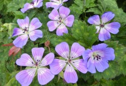 GERANIUM wallichianum 'Rise and Shine'