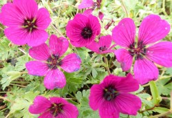 GERANIUM cinereum 'Jolly Jewel Red'