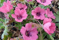 GERANIUM cinereum 'Jolly Jewel Salmon'